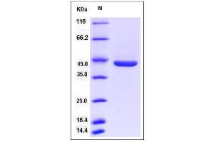 Image no. 1 for Pepsinogen C (PGC) (AA 1-392) protein (His tag) (ABIN2009149)