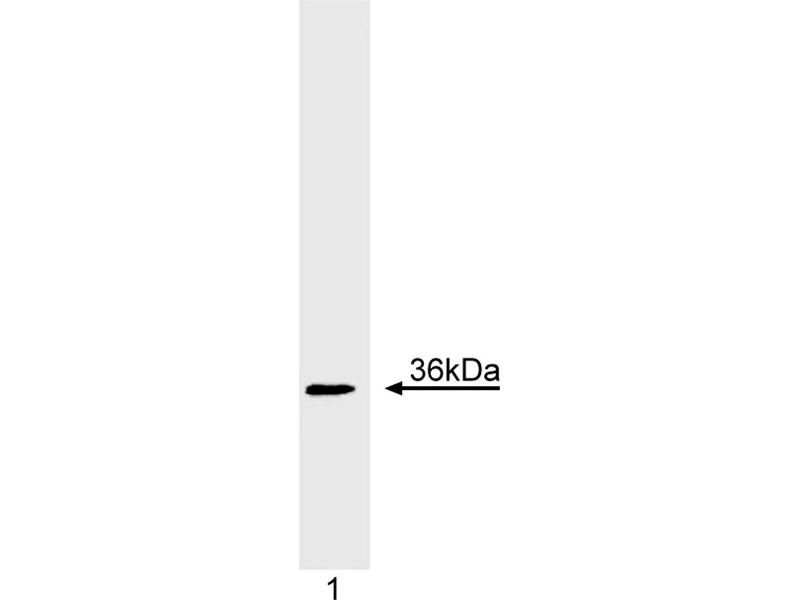 Western Blotting (WB) image for anti-Cyclin D1 (CCND1) (full length) antibody (ABIN967539)