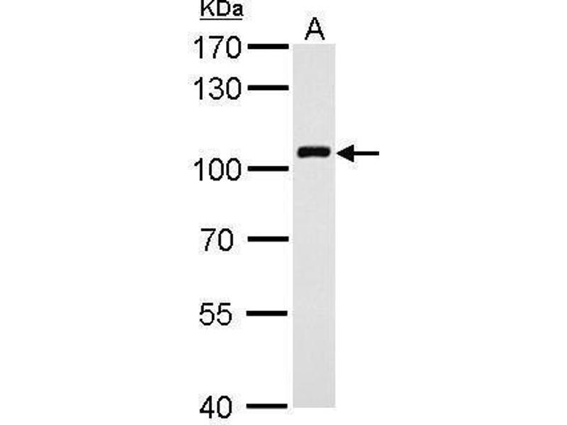 Western Blotting (WB) image for anti-VAV1 antibody (Vav 1 Oncogene) (ABIN2493722)