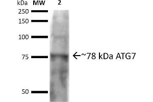 Image no. 2 for anti-ATG7 Autophagy Related 7 (ATG7) (N-Term) antibody (Alkaline Phosphatase (AP)) (ABIN5065894)