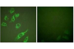 Immunofluorescence (IF) image for anti-tyrosine 3-Monooxygenase/tryptophan 5-Monooxygenase Activation Protein, zeta Polypeptide (YWHAZ) (pSer58) antibody (ABIN1847200)