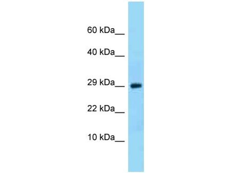 Western Blotting (WB) image for anti-Neurotrophin 3 (NTF3) (N-Term) antibody (ABIN2786664)