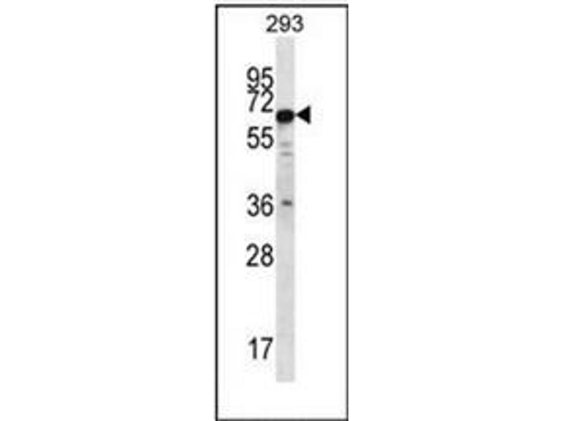Western Blotting (WB) image for anti-Phosphatase and Actin Regulator 3 (PHACTR3) (AA 24-54), (N-Term) antibody (ABIN954112)