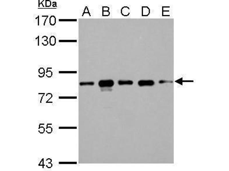 Image no. 5 for anti-CD2-Associated Protein (Cd2ap) (Center) antibody (ABIN2856284)