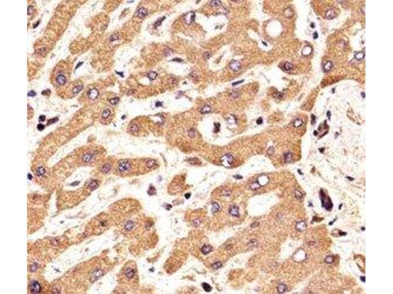 Immunohistochemistry (IHC) image for anti-Fibroblast Growth Factor Receptor 2 (FGFR2) (AA 7-37) antibody (ABIN3030951)