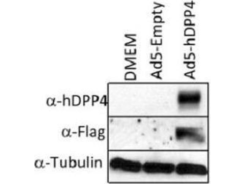 Western Blotting (WB) image for anti-Dipeptidyl-Peptidase 4 (DPP4) antibody (ABIN4306068)