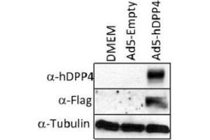 Western Blotting (WB) image for anti-Dipeptidyl-Peptidase 4 (DPP4) antibody (ABIN4306068)