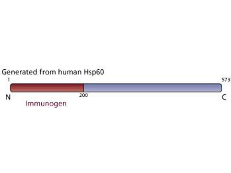 image for anti-Heat Shock 60kDa Protein 1 (Chaperonin) (HSPD1) antibody (ABIN968591)