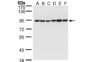 Image no. 6 for anti-Calnexin (CANX) (Internal Region) antibody (ABIN2855124)