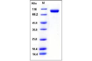 Image no. 1 for Vascular Cell Adhesion Molecule 1 (VCAM1) (AA 1-698), (Extracellular Domain) (Active) protein (His tag) (ABIN2007437)