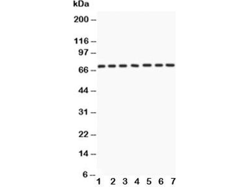Western Blotting (WB) image for anti-Lamin A/C antibody (LMNA) (AA 481-646) (ABIN3031583)
