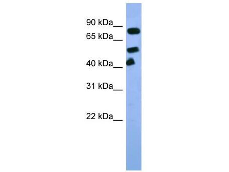 Western Blotting (WB) image for anti-Aryl Hydrocarbon Receptor Nuclear Translocator (ARNT) (C-Term) antibody (ABIN2777195)