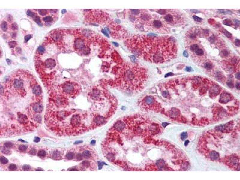 Immunohistochemistry (Paraffin-embedded Sections) (IHC (p)) image for anti-Apoptosis-Inducing Factor, Mitochondrion-Associated, 1 (AIFM1) (AA 593-606) antibody (ABIN305789)