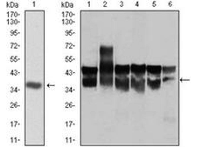 Western Blotting (WB) image for anti-Cyclin-Dependent Kinase 2 (CDK2) antibody (ABIN1106645)