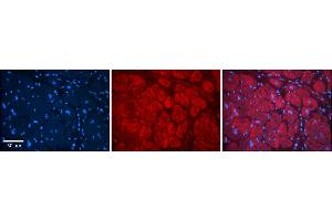 Image no. 5 for anti-Transmembrane Emp24 Protein Transport Domain Containing 1 (TMED1) (N-Term) antibody (ABIN2782743)