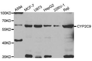 Image no. 1 for anti-Cytochrome P450, Family 2, Subfamily C, Polypeptide 9 (CYP2C9) antibody (ABIN6139333)