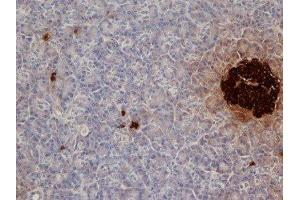 Immunohistochemistry (Paraffin-embedded Sections) (IHC (p)) image for anti-Insulin (INS) antibody (ABIN260218)