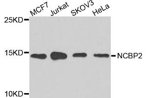Image no. 4 for anti-Nuclear Cap Binding Protein Subunit 2 (NCBP2) antibody (ABIN6571037)