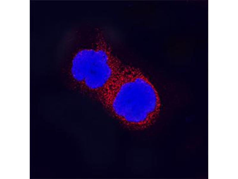 Immunocytochemistry (ICC) image for anti-Myeloid Differentiation Primary Response Gene (88) (MYD88) (AA 1-296) antibody (ABIN4899042)