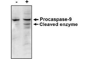 anti-Caspase 9, Apoptosis-Related Cysteine Peptidase (CASP9) antibody