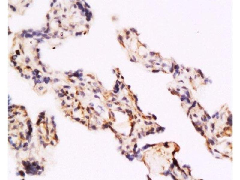 Immunohistochemistry (Paraffin-embedded Sections) (IHC (p)) image for anti-Toll-Like Receptor 4 (TLR4) (AA 780-830) antibody (ABIN736491)