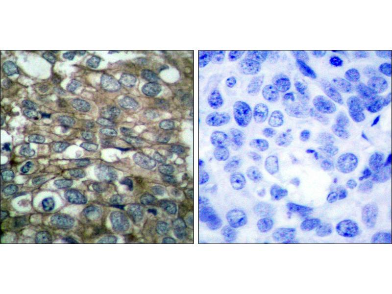 Image no. 1 for anti-Epidermal Growth Factor Receptor (EGFR) (Tyr869) antibody (ABIN1576215)
