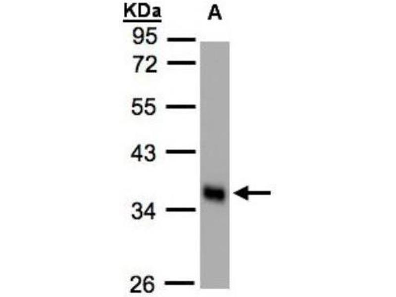 Western Blotting (WB) image for anti-phospholipid Scramblase 1 (PLSCR1) (Center) antibody (ABIN442552)