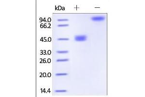 Image no. 1 for Tumor Necrosis Factor (Ligand) Superfamily, Member 18 (TNFSF18) (AA 50-177) (Active) protein (Fc Tag) (ABIN2181165)