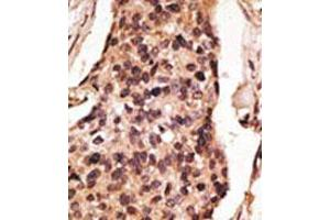 Image no. 2 for anti-Sialic Acid Binding Ig-Like Lectin 8 (SIGLEC8) (C-Term) antibody (ABIN357149)