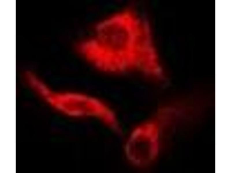 Immunofluorescence (IF) image for anti-Guanine Deaminase (GDA) antibody (ABIN2966662)