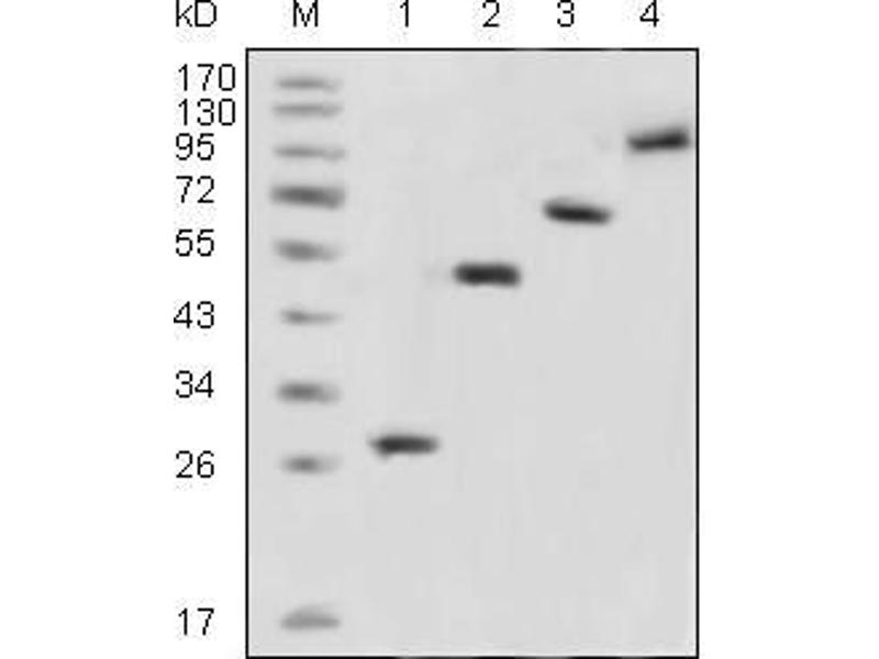 Image no. 4 for anti-Green Fluorescent Protein (GFP) antibody (ABIN3210020)