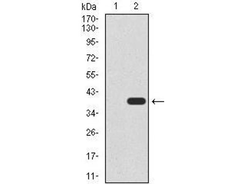 Western Blotting (WB) image for anti-UTF1 antibody (Undifferentiated Embryonic Cell Transcription Factor 1) (AA 148-214) (ABIN1098126)