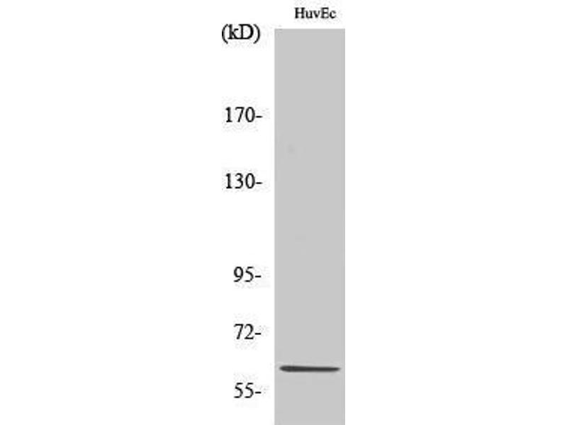 Western Blotting (WB) image for anti-Bone Morphogenetic Protein 2 (BMP2) (Internal Region) antibody (ABIN3183525)