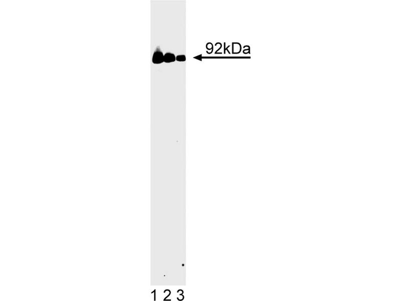 Western Blotting (WB) image for anti-Signal Transducer and Activator of Transcription 3 (Acute-Phase Response Factor) (STAT3) (AA 1-175) antibody (ABIN967809)