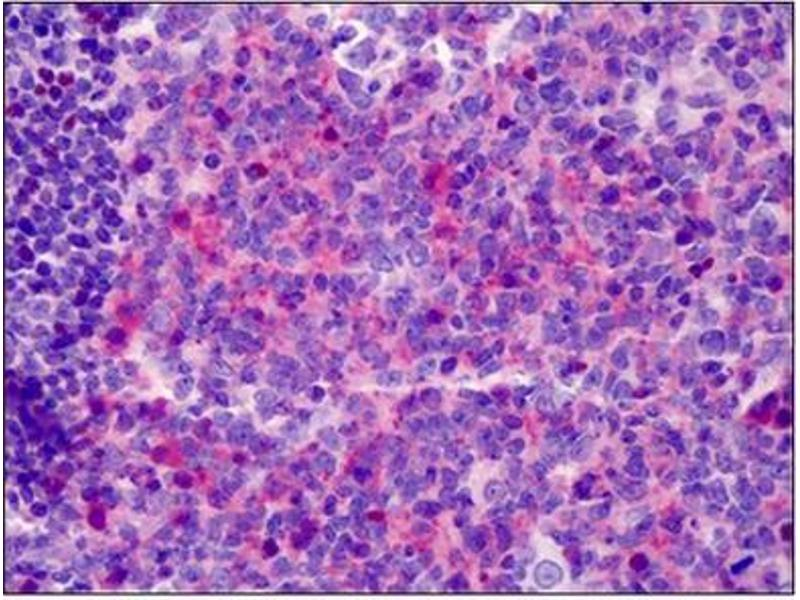 Immunohistochemistry (Paraffin-embedded Sections) (IHC (p)) image for anti-Neuregulin 1 antibody (NRG1) (Isoform 10) (ABIN783139)