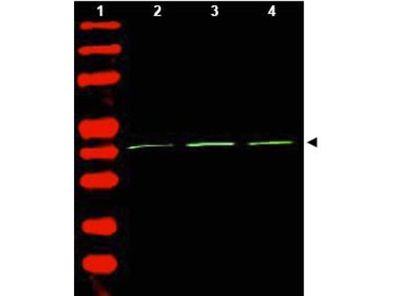 Western Blotting (WB) image for anti-Actin antibody (AA 359-368) (ABIN153390)