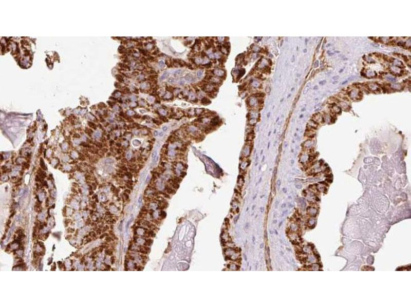 Image no. 1 for anti-Caspase 1 p20 antibody (ABIN6267714)