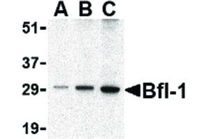 Image no. 1 for anti-BCL2-Related Protein A1 (BCL2A1) (C-Term) antibody (ABIN6655842)