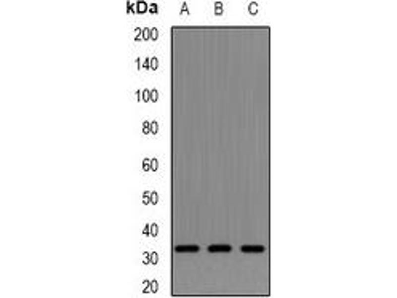 Western Blotting (WB) image for anti-Neurotrophin 4 (NTF4) antibody (ABIN3198224)