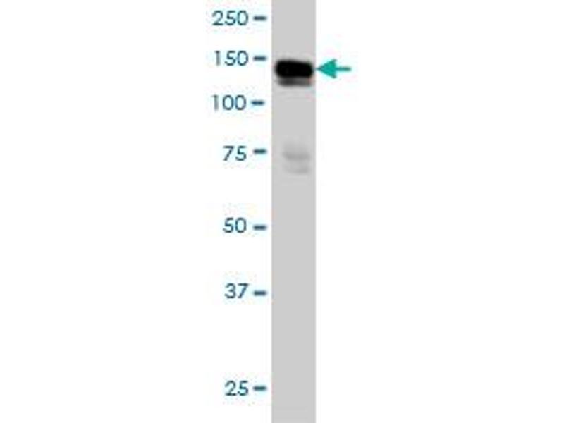 Western Blotting (WB) image for anti-AXL Receptor tyrosine Kinase (AXL) (AA 30-140), (partial) antibody (ABIN560017)