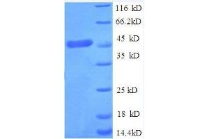 SDS-PAGE (SDS) image for Tumor Necrosis Factor Receptor Superfamily, Member 1A (TNFRSF1A) (AA 31-210) protein (GST tag) (ABIN1047844)