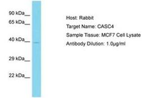 Image no. 1 for anti-Cancer Susceptibility Candidate 4 (CASC4) (AA 163-212) antibody (ABIN6750740)