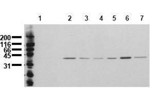 Western Blotting (WB) image for anti-MAPK14 antibody (Mitogen-Activated Protein Kinase 14) (N-Term) (ABIN126884)