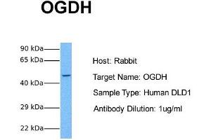 Image no. 1 for anti-alpha Ketoglutarate Dehydrogenase (alphaKGDHC) (N-Term) antibody (ABIN2787780)