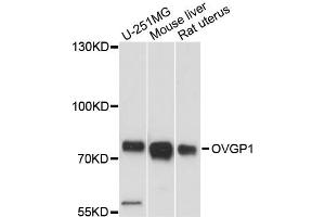 Image no. 1 for anti-Oviductal Glycoprotein 1 (OVGP1) antibody (ABIN6567745)