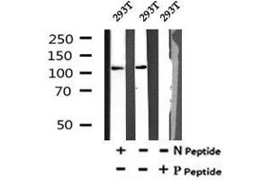 Image no. 1 for anti-Myosin Phosphatase, Target Subunit 1 (PPP1R12A) (pTyr766) antibody (ABIN6269629)