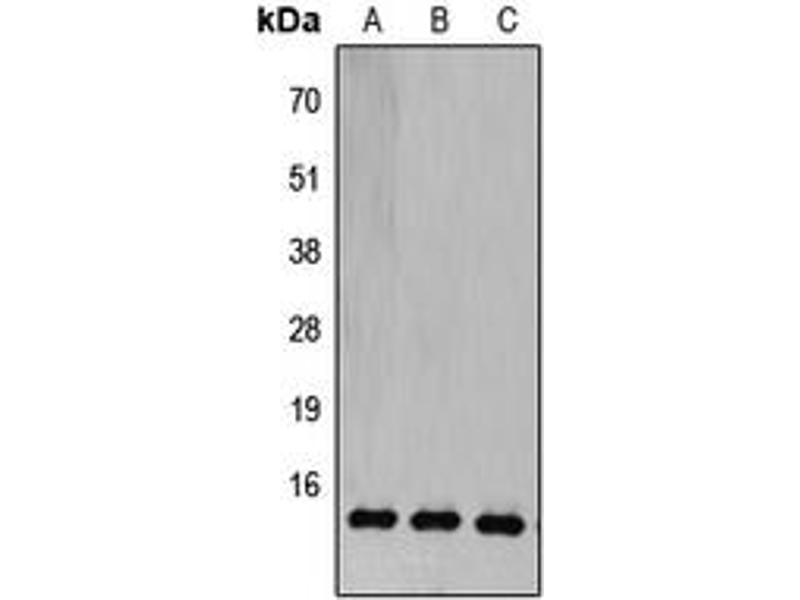 Image no. 2 for anti-Cytochrome C Oxidase Subunit Vb (COX5B) (N-Term) antibody (ABIN2707445)