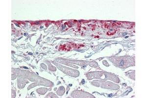 Image no. 2 for anti-Periostin, Osteoblast Specific Factor (POSTN) (Middle Region) antibody (ABIN2776883)