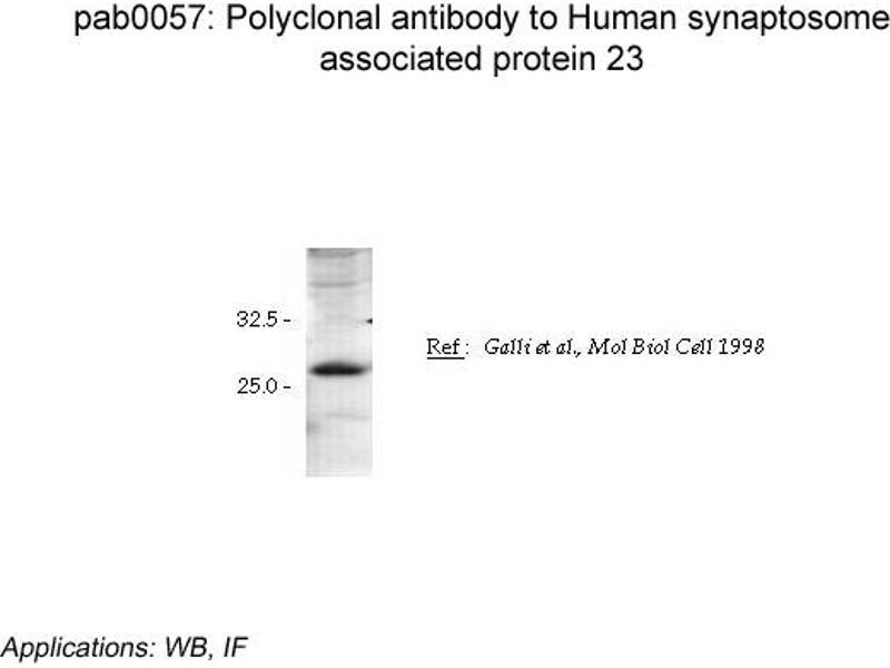image for anti-Synaptosomal-Associated Protein, 23kDa (SNAP23) antibody (ABIN1515149)