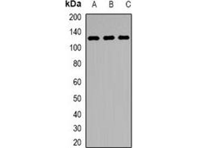 Western Blotting (WB) image for anti-Lysine (K)-Specific Demethylase 1A (KDM1A) antibody (ABIN3198173)